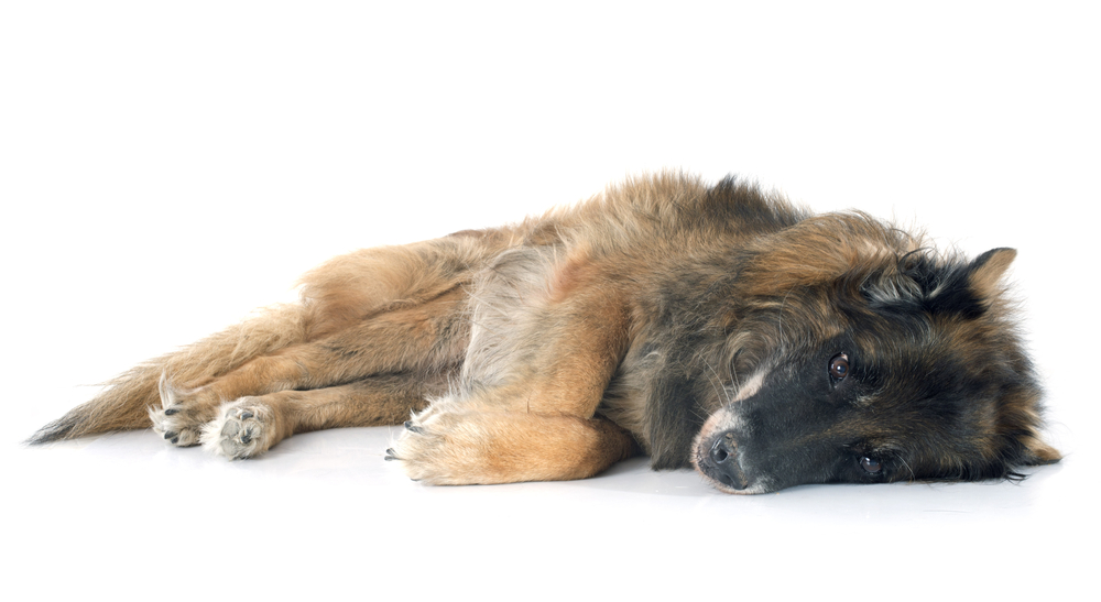 Euthanize a Dog With Liver Failure
