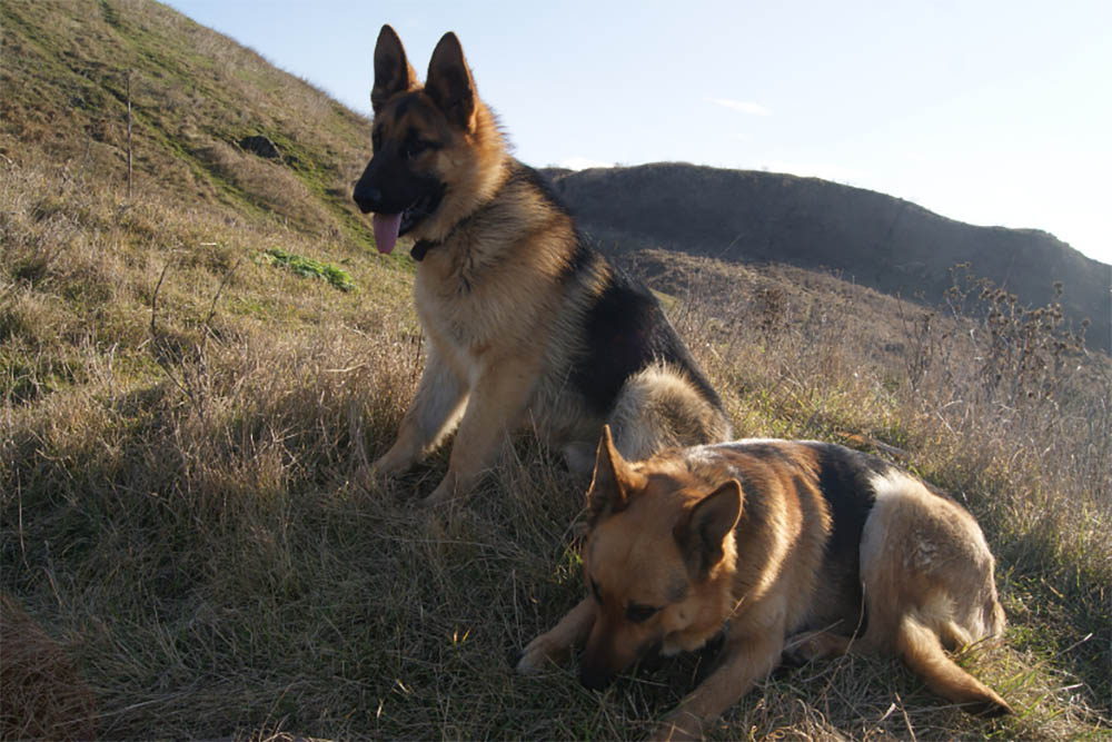 How Active Are German Shepherds