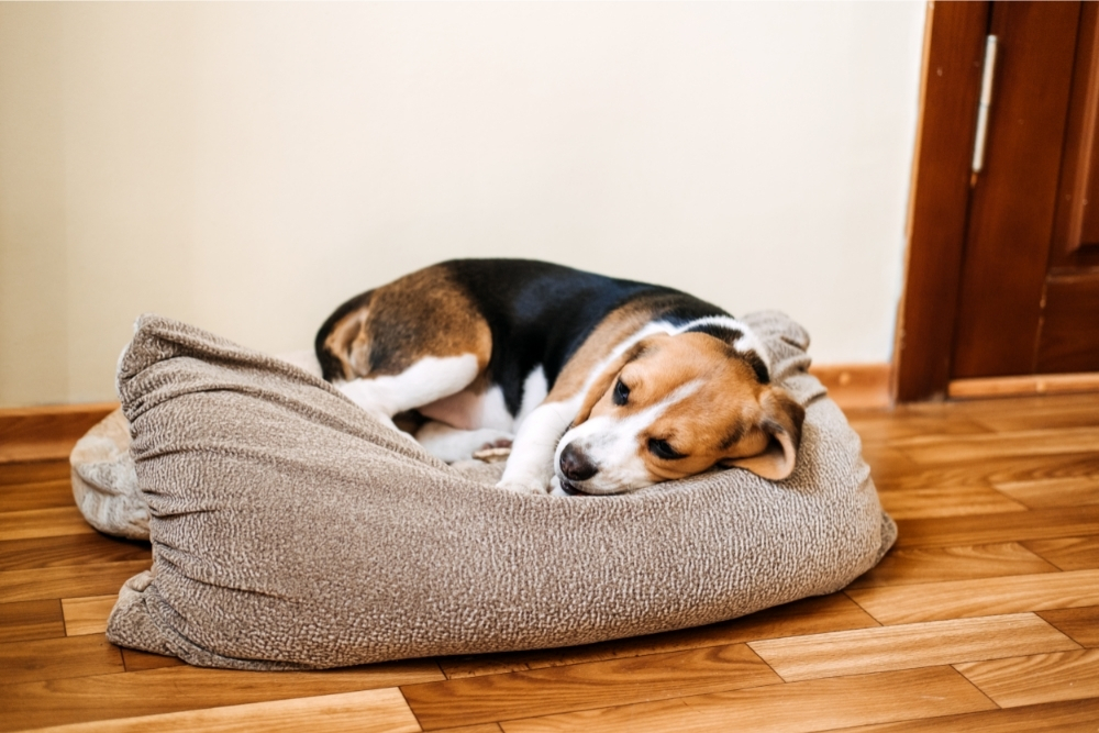 How Do I Know if My Puppy Will Survive Parvo? (+ Home Treatment)