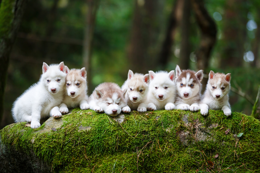 How Many Puppies Can a Husky Have + First Time Litter Sizes