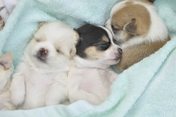 How Many Puppies Do Chihuahuas Have In A Litter Usually