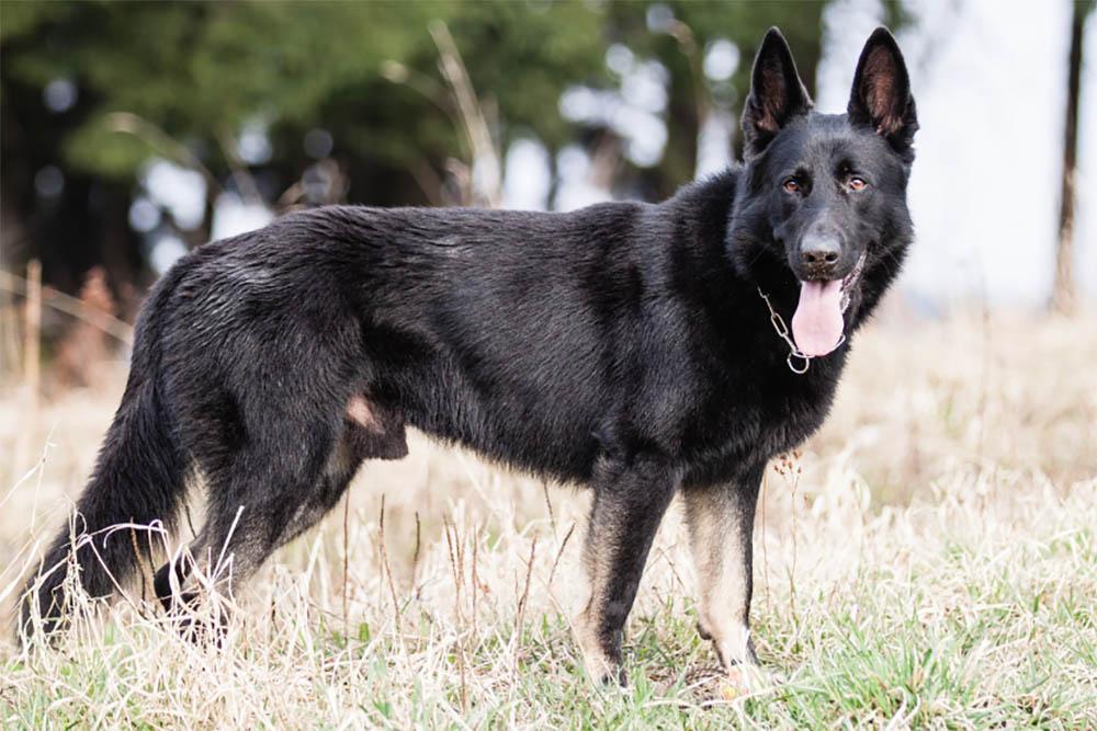 How Rare Are Black German Shepherds