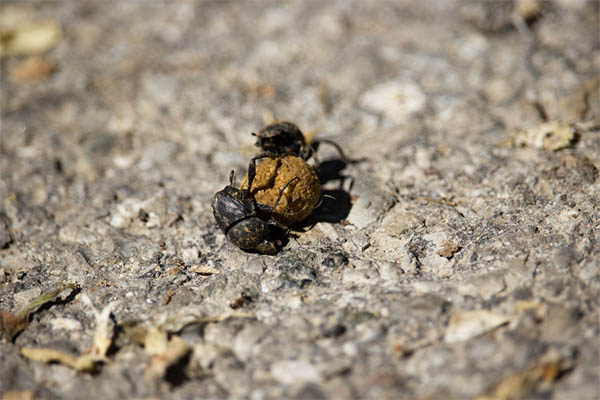 How do dung beetles do this