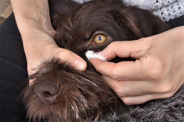 How to Soften Dog Eye Boogers