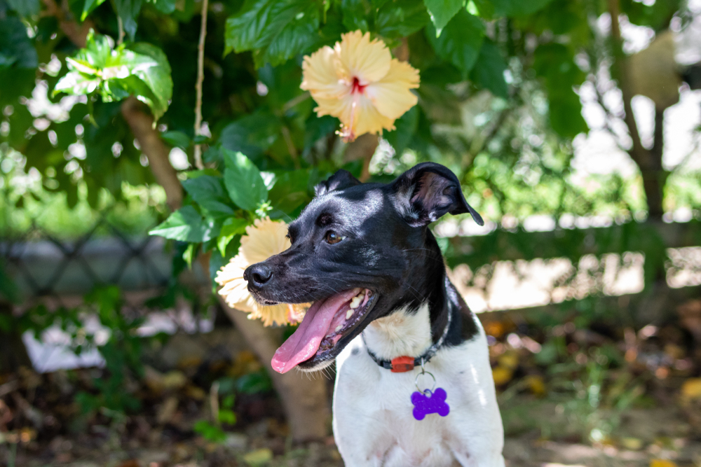 Is Hibiscus Poisonous to Dogs (Flowers & Leaves Toxic)
