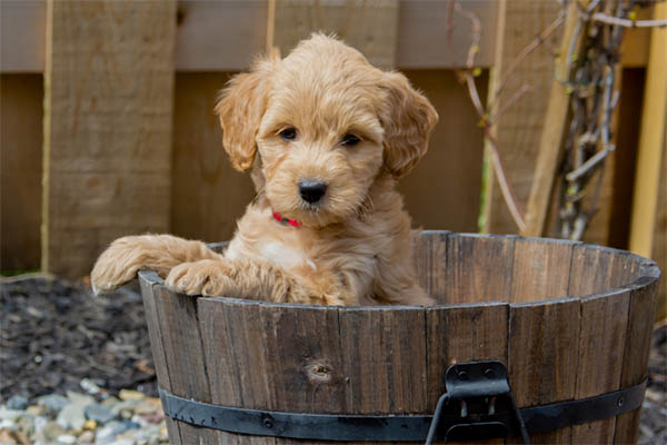 Mini Goldendoodles Aren't For Everybody. Here's What You Need to Know...