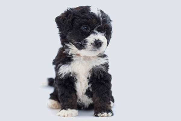 The Mini Bernedoodle A Would-Be Owner's Guide
