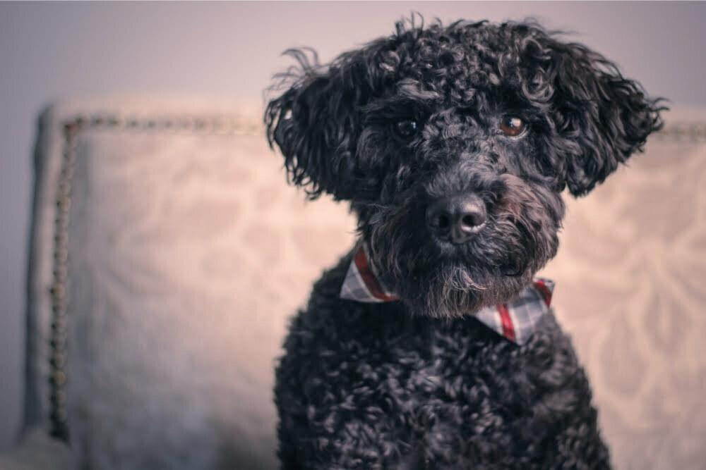 What is a Teddy Bear Dog?