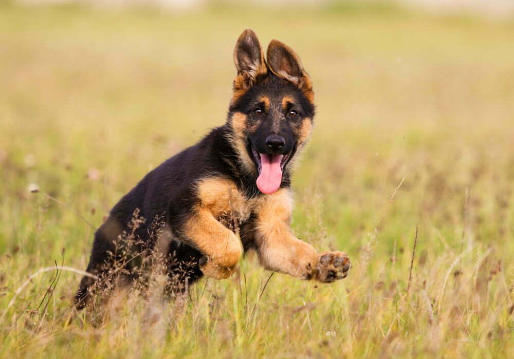 When Do German Shepherds Puppies Calm Down