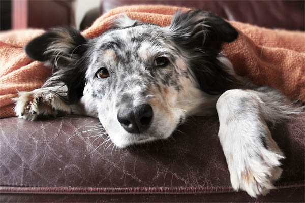 When Should You Put Down a Dog With Lymphoma?