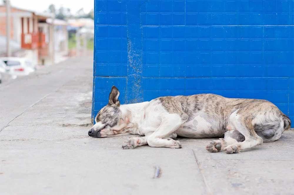 Dog with Degenerative Myelopathy