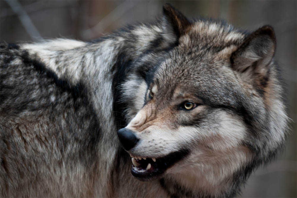 Which Dog Breed Can Kill a Wolf
