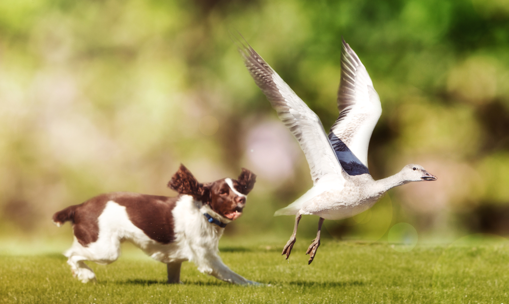 Why Do Dogs Eat Goose Poop