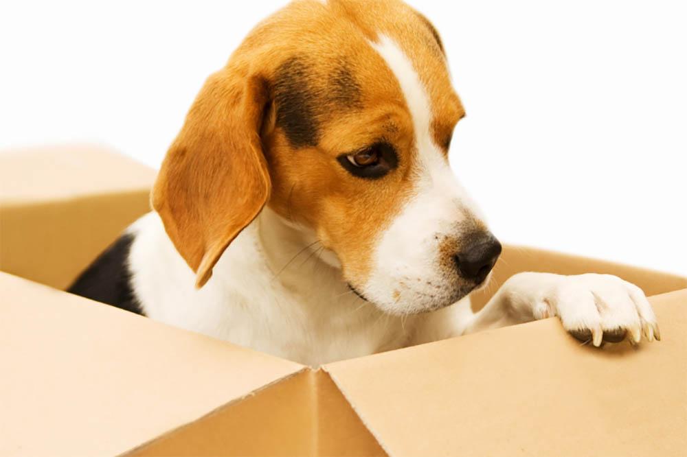 Why Does My Beagle Always Stink