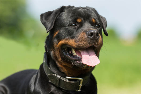 Why Does My Rottweiler Growl at Me