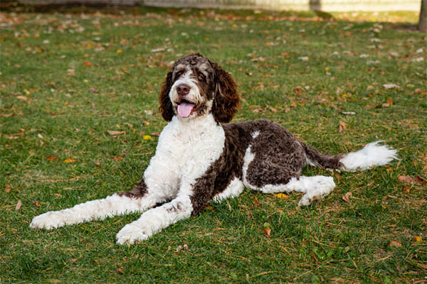 about Bernedoodles