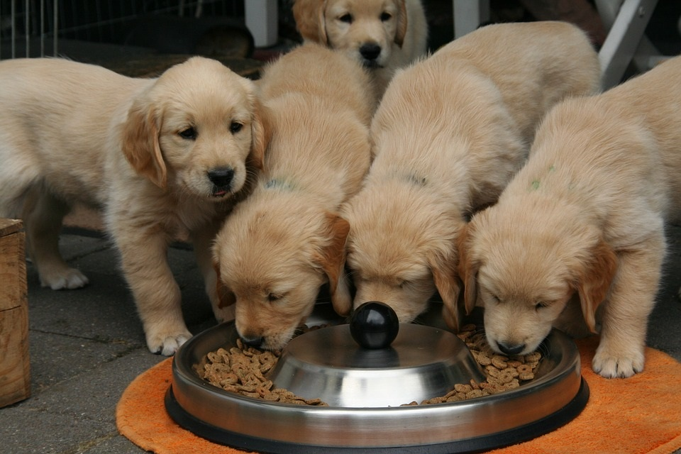 How late should you feed a puppy?