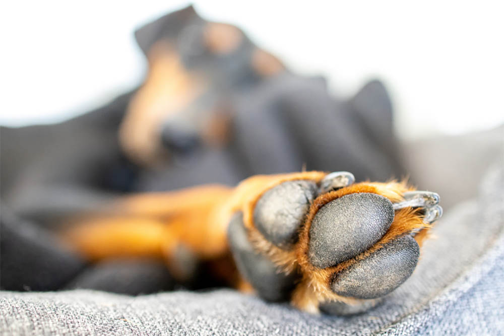 Is My Dog's Toe Broken Signs Look Out For And How To Treat Them