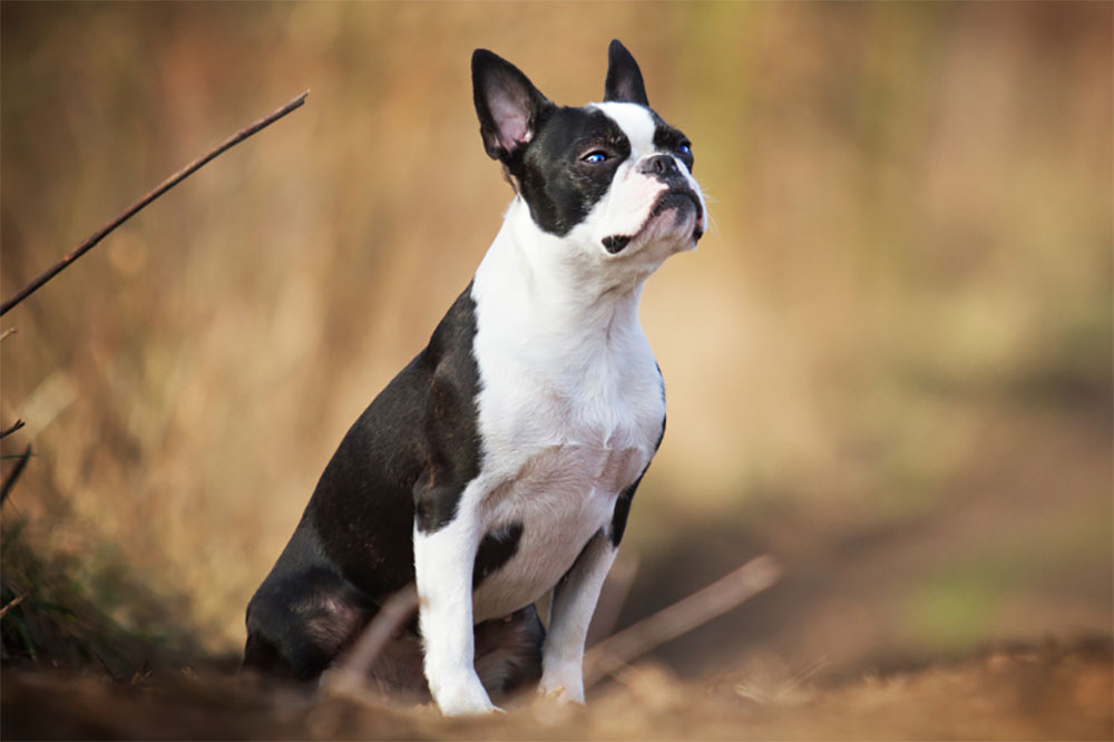 Boston Terrier The Ultimate Guide