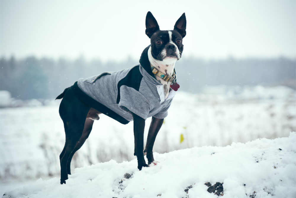 Boston Terrier The Ultimate