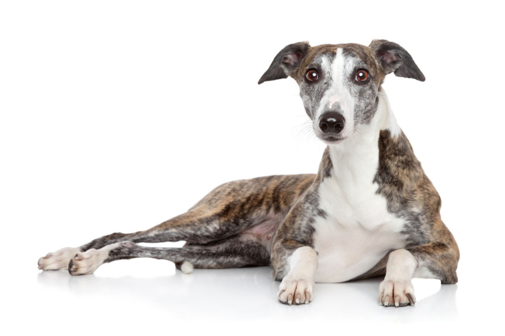 Greyhound The Ultimate Guide