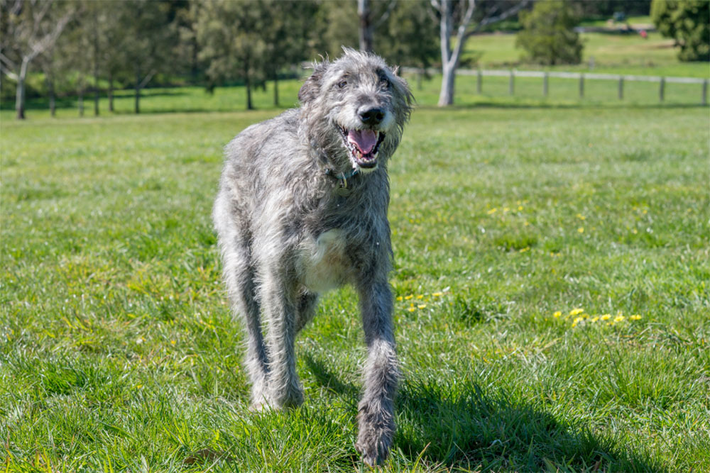 Irish Wolfhound The Ultimate Guide