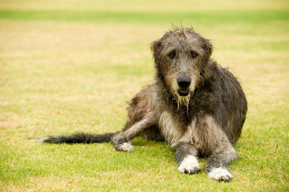 Irish Wolfhound Ultimate Guide