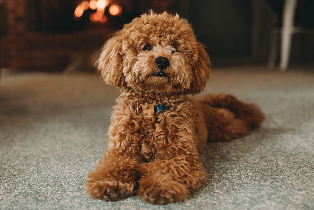 Poodle (Standard, Miniature or Toy)