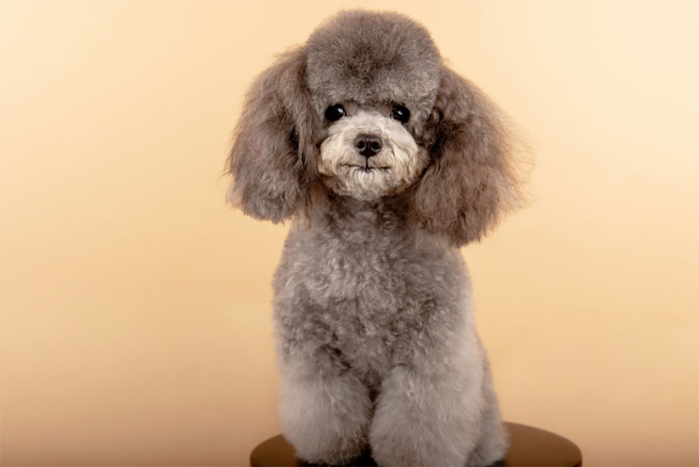 Poodle The Ultimate Guide
