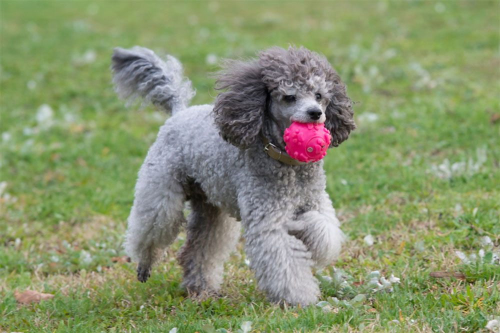Poodle Ultimate Guide