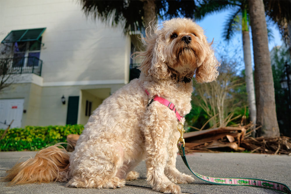 The Cavapoo Dog: An Utimate Guide To The Curly Cuddle Lovers