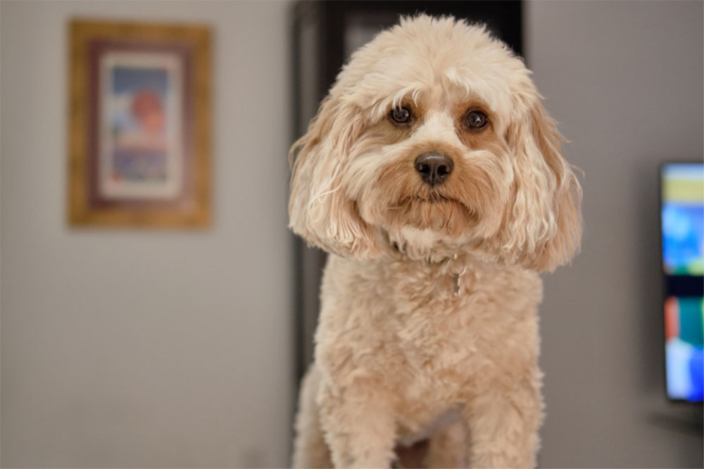 The Cavapoo Dog Guide