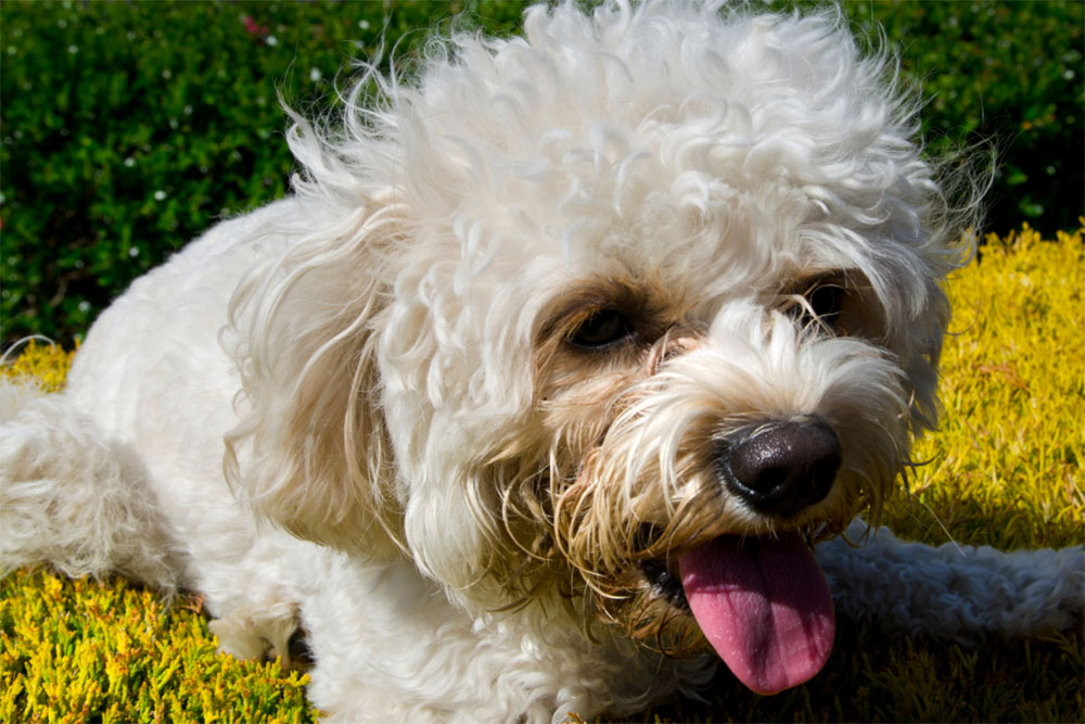 The Cavapoo Dog