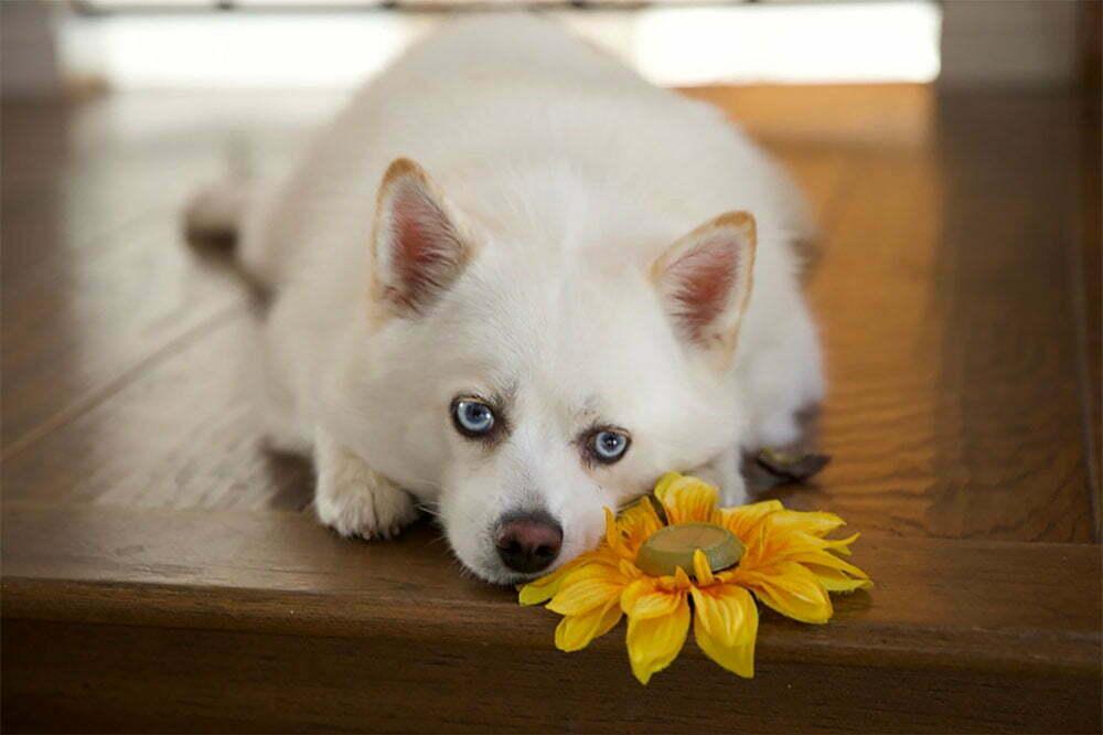 The Pomsky Dog