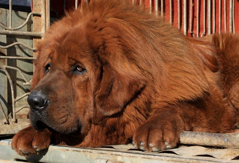 Tibetan Mastiff-