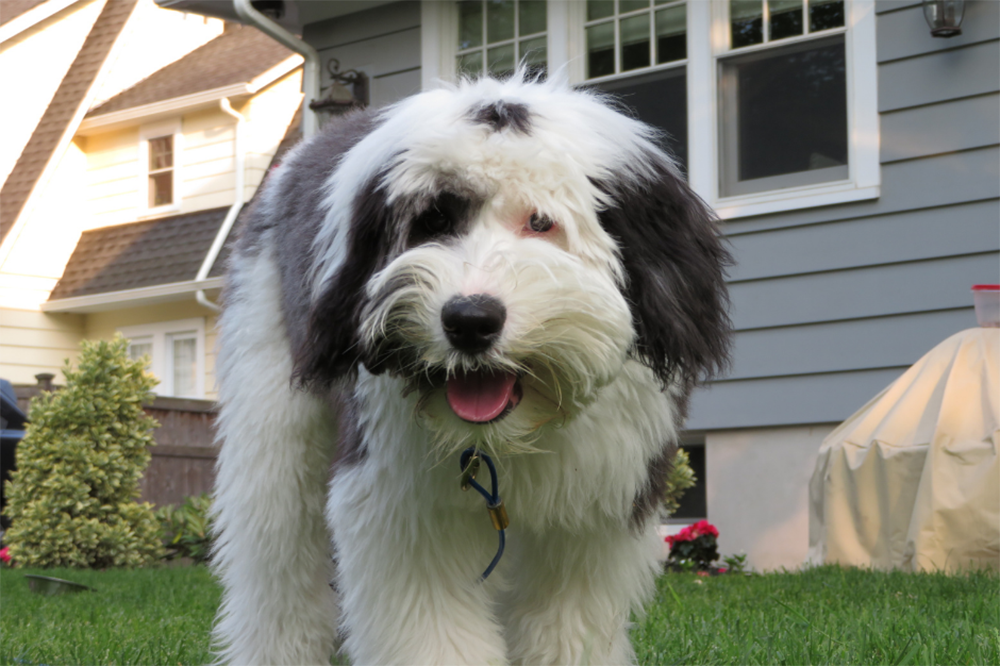 Sheepadoodle The Ultimate Guide
